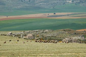 Colonia de buitres cerca de Aldehuela
